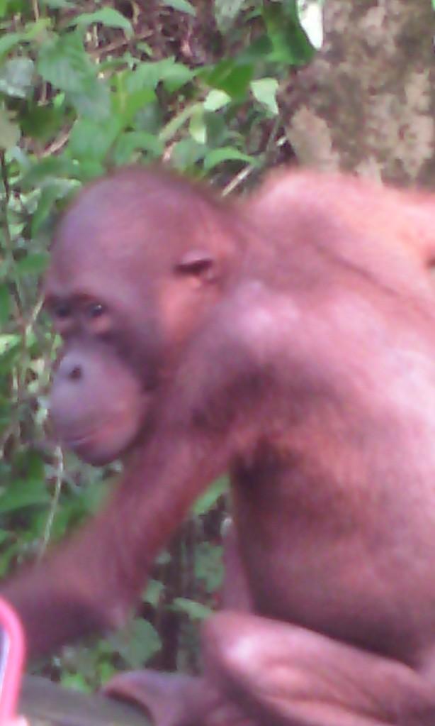 Hairless, old man orangutan