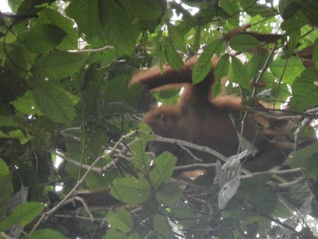 Best shot of the orangutan in the jungle