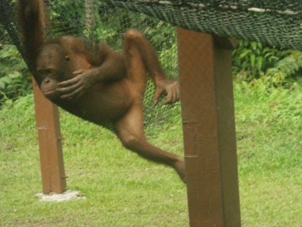 Seriously young orangutan are so cute!
