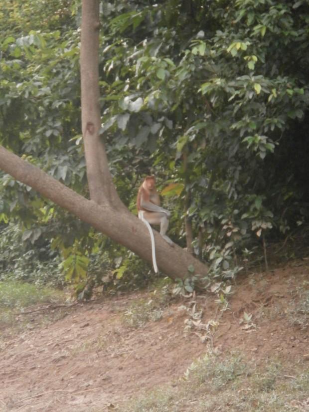 Probiscious monkey
