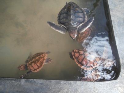 Habaraduwa turtle hatchery